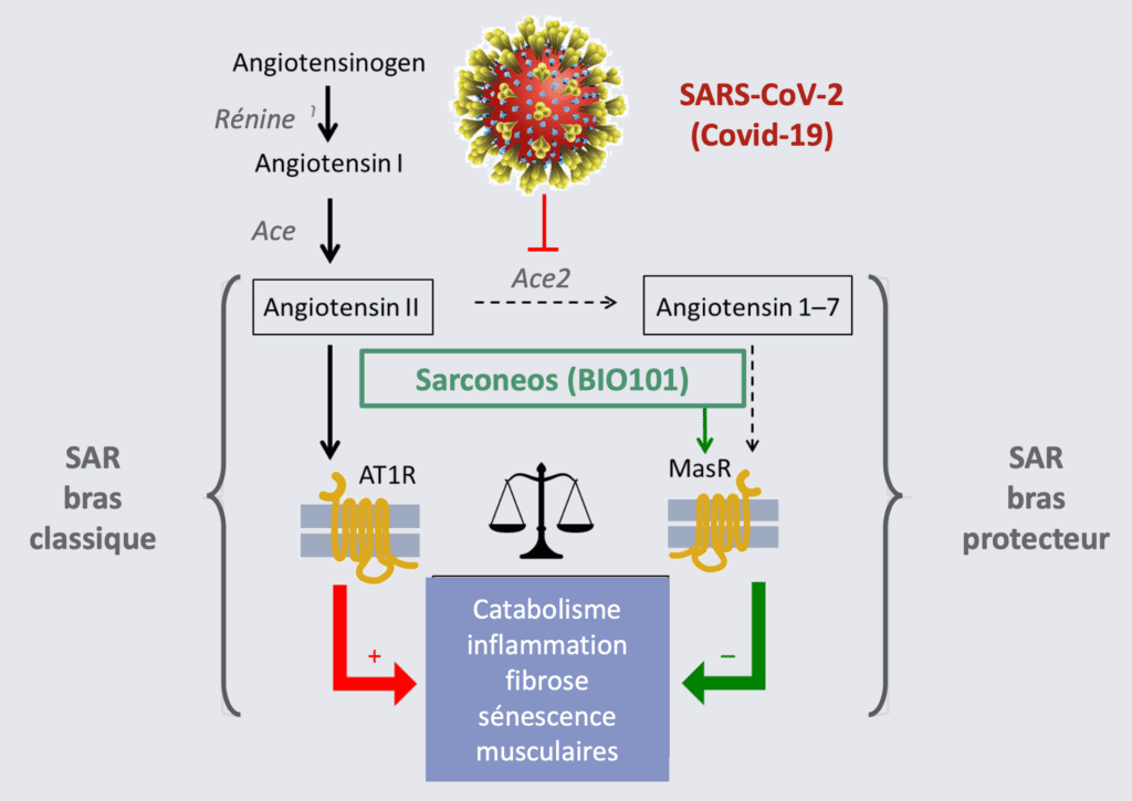 Sarconeos (BIO101) active le bras protecteur du système rénine-angiotensine (SRA), et pourrait stimuler la fonction respiratoire des patients COVID-19